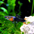 Black Flame Endler Poecilia wingei