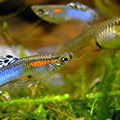 Guppy Poecilia reticulata 'Japan Blue