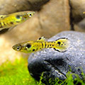 Endlerguppy 'Tiger' Poecilia wingei